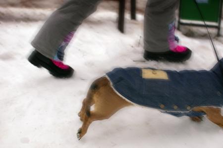 Dachshund walks through the snow on a leash