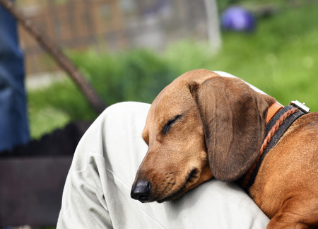 Dog resting on the lap of the owner