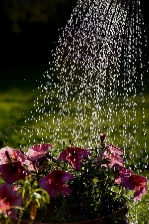 The jets of water from the watering can in the sun, flowers, petunias, watering in the garden