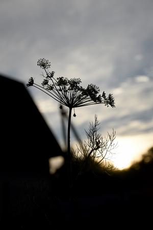 Silhouette of a dill on the sunset sky Zdjęcie Seryjne