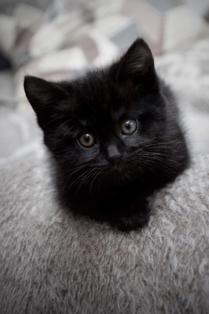 Black kitten on the bed at home