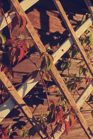Hojas verdes de la planta en una celosía de madera de la terraza
