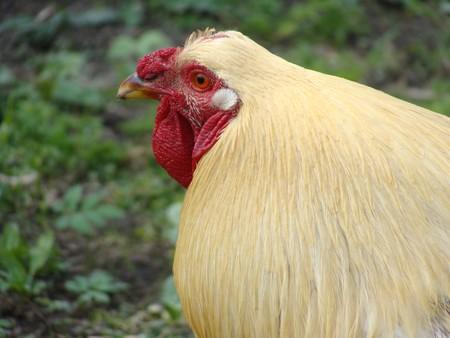 Beautiful cock closeup Stock Photo - 6996125
