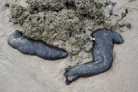 Sea cucumber is hidden under the rock in nature sea of  Koh Lanta Krabi Thailand  photo