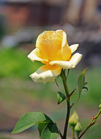 yellow rose: single yellow rose on a stem, in the garden, outdoors