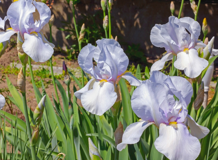 flowerbed: Irises White   flowerbed flowers, perennial, spring flower, soft focus