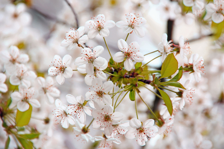 jardines con flores: cherry blossom in the spring, blooming cherry trees, flower gardens