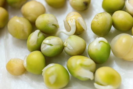 sprouted: sprouting pea pods for planting in early spring, sprouted grain legumes, macro closeup, shallow depth of field, very soft focus Stock Photo