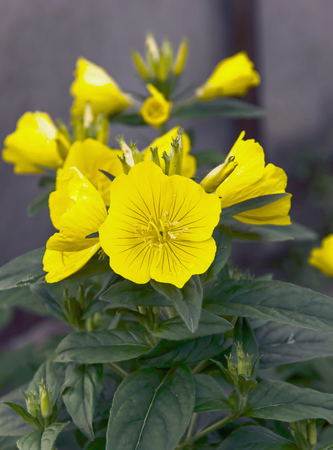 oenothera biennis: evening primrose flower garden flowers in the flower bed, bud Beautiful, Selective focus