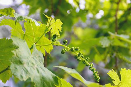 immature: young immature grapes, grape branch