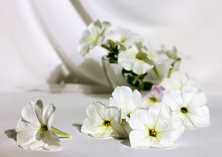 lavender coloured: Still life with white petunias on a white fabric flowers in white spread