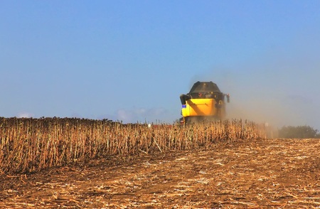harvester cuts mature dry sunflowers, harvest worker on field Stock Photo