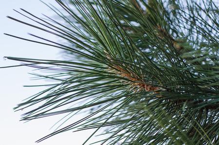 large pine needles Stock Photo