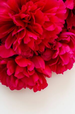 白い背景に美しい赤い牡丹の花