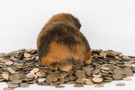 guinea pig: Guinea  Pig - Stock Image.