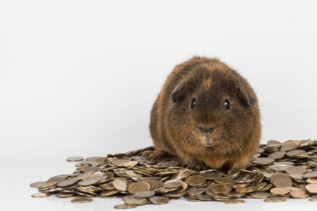 guinea: Guinea  Pig - Stock Image.