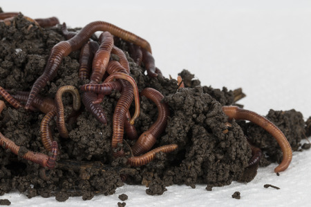 Red worms in compost - Stock image.