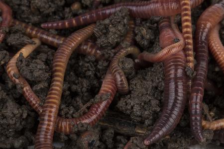 gusanos: Gusanos rojos en el compost - imagen de archivo. Foto de archivo