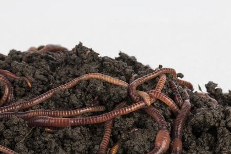 Les vers rouges dans le compost - Stock image. Banque d'images - 40434326
