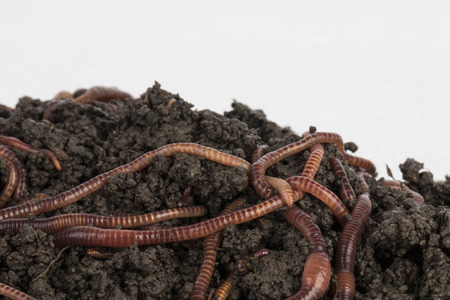 compost: Red worms in compost - Stock image.