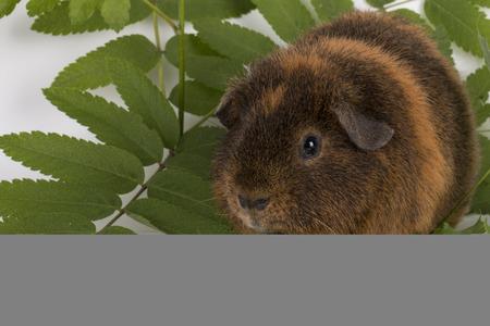 guinea pig: Guinea  Pig - Stock image macro.