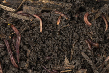 vermiculture: Red worms in compost - Stock image.