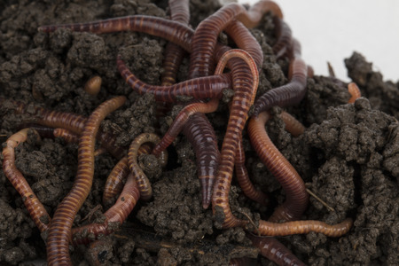 Rode wormen in compost - Stock image.