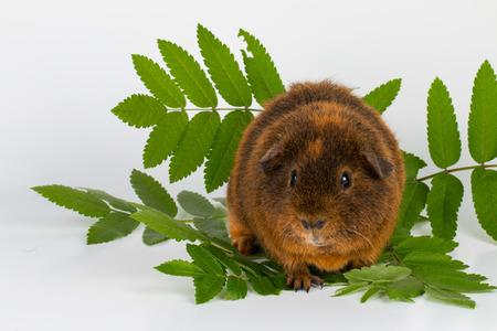 guinea pig: Guinea Pig - Stock image macro. Stock Photo