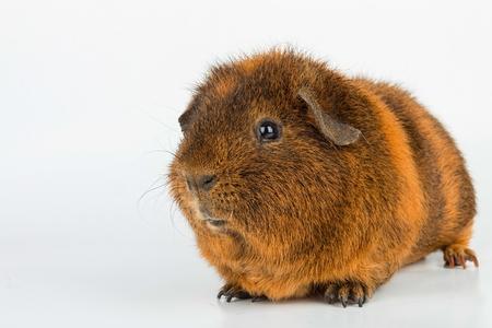 guinea pig: Guinea Pig. Stock image macro. Stock Photo