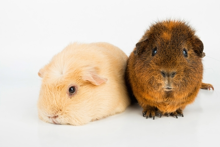 stock image: Guinea Pig. Stock image macro. Stock Photo