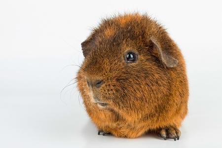 guinea: Guinea Pig. Stock image macro. Stock Photo