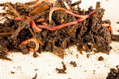 worms: Red worms in compost. Macro shot. Stock Photo