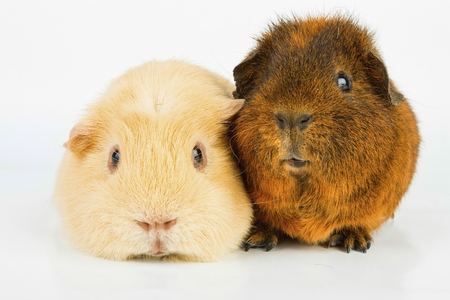 Beautiful Guinea pig. Stock image, macro shot.