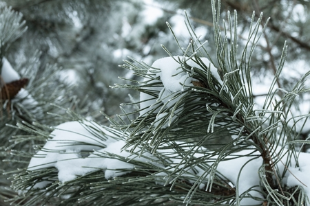 Christmas pine tree branches covered with snow. Macro shot.
