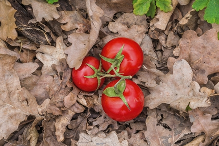 Ripe natural tomatoes on dry oak leaf in forest. Natural healthy food concept.