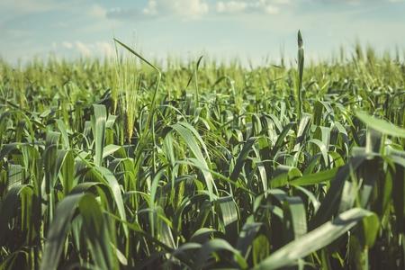 Beau champ vert avec du blé jeune. Image stock.