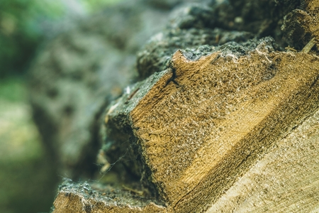 Felled tree in forest. Cross section of tree trunk.