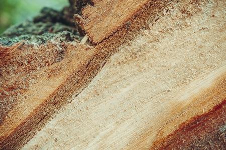 Arbre abattu en forêt. Coupe transversale du tronc d'arbre.