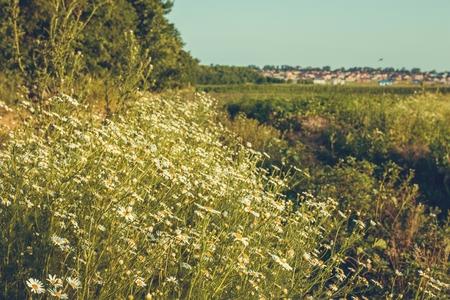 Fleurs de camomille sur une prairie en été. Champ de camomille en fleurs. Banque d'images - 81391499