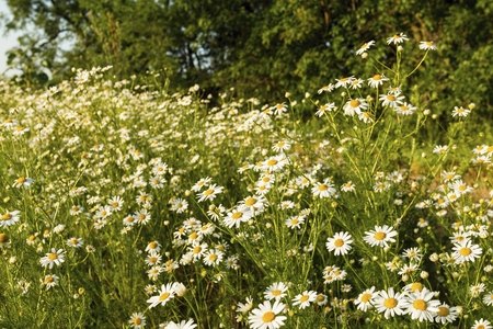 Chamomile flowers on a meadow in summer. Blooming chamomile field.
