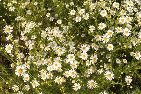 Fleurs de camomille sur une prairie en été. Champ de camomille en fleurs. Banque d'images - 81390139