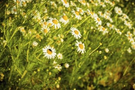 Fleurs de camomille sur une prairie en été. Champ de camomille en fleurs. Banque d'images - 81494480