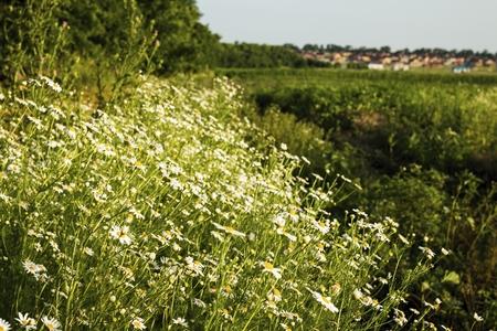 Fleurs de camomille sur une prairie en été. Champ de camomille en fleurs. Banque d'images - 81497835
