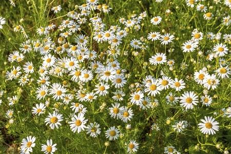 Fleurs de camomille sur une prairie en été. Champ de camomille en fleurs. Banque d'images - 81499567