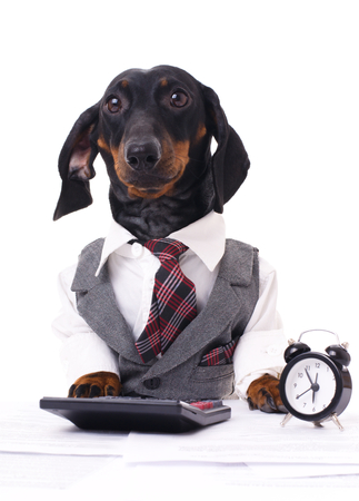 portrait of a business dachshund wearing a suit and tie, isolated over white Фото со стока - 25966455