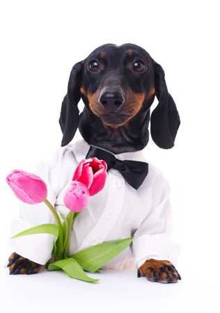 dachshund with bunch of tulips as present, isolated over white Фото со стока
