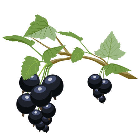 Black currant is a source of vitamin C. Vegetarian and healthy food. Vector on a white background