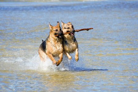 two wet Germany sheep-dogs running on sea water with stick