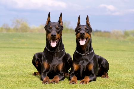 two black dobermans laying on the grass