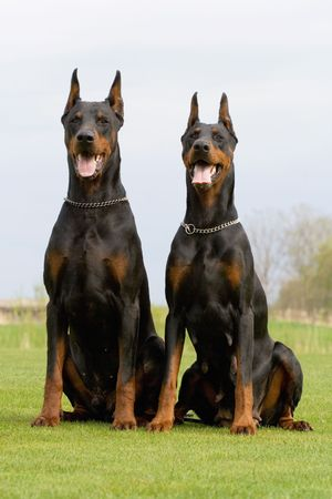 two black dobermans sitting on the grass Stock Photo